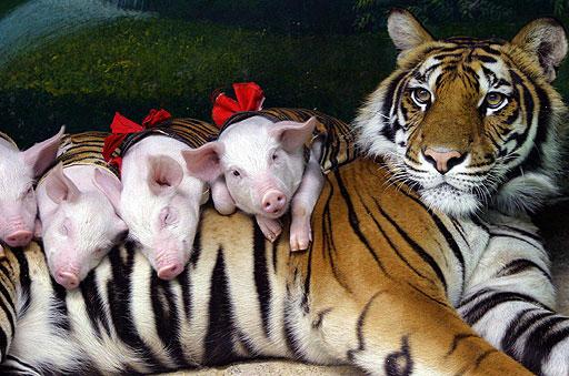 Mamma tigre ed i suoi cuccioli maialini