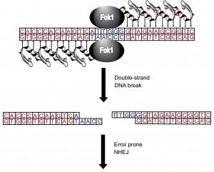 zinc_finger_nuclease-300x241