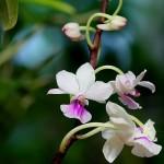 Holcoglossum_amesianum