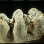 un moLare di mastodonte, che pare possa alzare il moRale degli scienziati