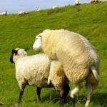 sesso-pecore