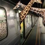 le giraffe si annusano da un metro. (dieci punti a chi capisce la battuta)