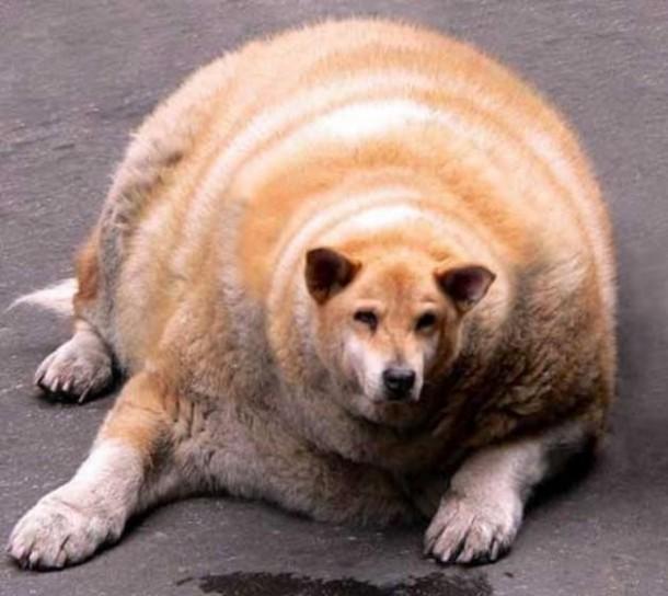 Colesterolo buono e colesterolo cattivo: questo cane sembra non aver prestato attenzione all'articolo che abbiamo pubblicato sul colesterolo su OMGS. Fonte foto: Haisentito.it