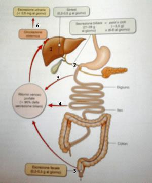 Circolazione enteroepatica