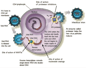 Ciclo virale virus